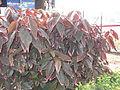 Acalypha wilkensiana marginata-2-yercuad-salem-India.JPG