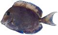 Acanthurus coeruleus - pone.0010676.g184.png