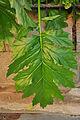 Acanthus mollis leaf.jpg