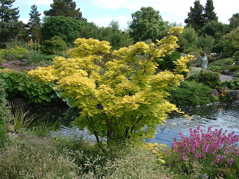 File:Acer shirasawanum 'Aureum' (2944483012).jpg