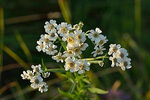 Achillea ptarmica - Image: Achillea ptarmica võsa raudrohi