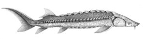 White sturgeon - Image: Acipenser transmontanus 1