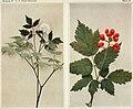 Actaea rubra WFNY-062 (18429008691).jpg