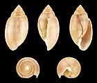 Acteon tornatilis f. unicolor 01.JPG