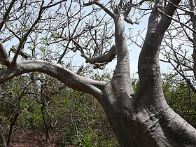Adansonia digitata 0004.jpg