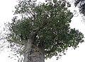 Adansonia digitata 28zz.jpg