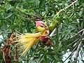 Adansonia rubrostipa 02.jpg