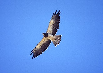 Swainson's hawk - Soaring light-morph adult