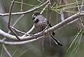 Aegithalos caudatus - Long-tailed Tit 2019-11-24 01.jpg