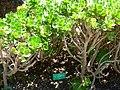 Aeonium balsamiferum plants.JPG