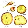 Aesculus parviflora seed.jpg