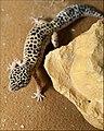 Afghan Leopard Gecko.jpg