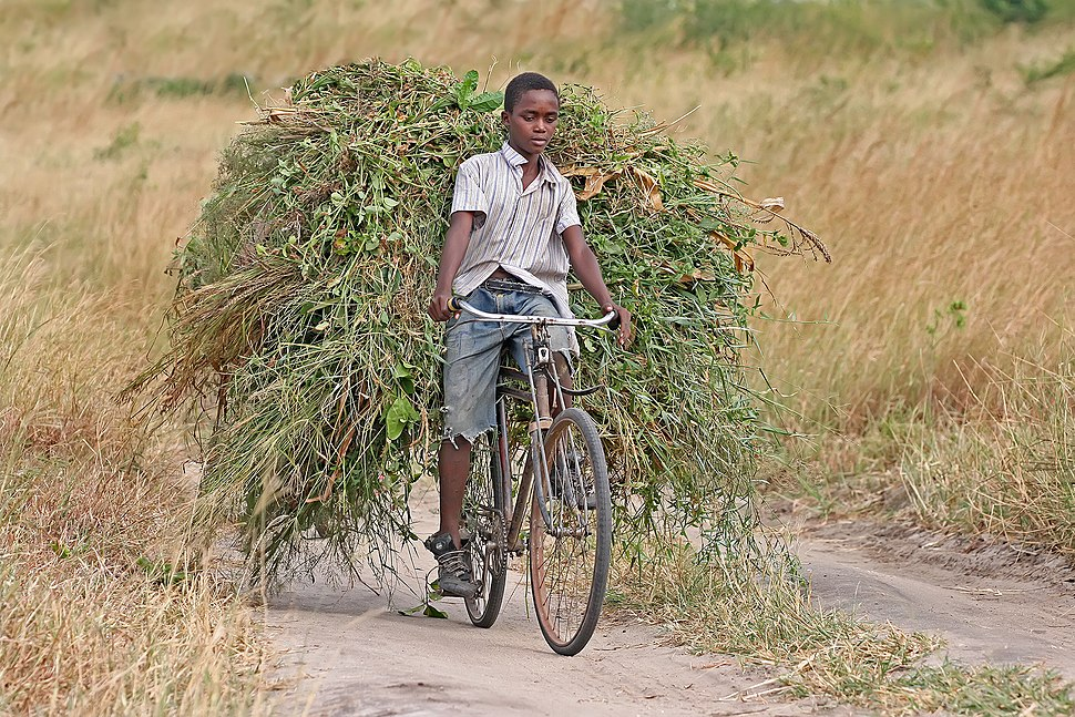 African boy transporting fodder by bicycle edit