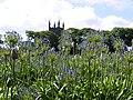 Agapanthus Field. - panoramio.jpg