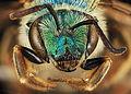 Agapostemon coloradinus, F, face, Shannon Co., S. Dakota 2014-01-09-14.31.48 ZS PMax (12229924934).jpg