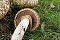 Agaricus bohusii (33142494131).jpg