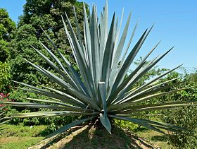 Agave tequilana 2.jpg