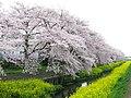 Ageo Shiba River 1.JPG