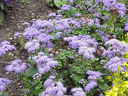 definition of ageratum