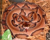 Agkistrodon contortrix contortrix CDC-a