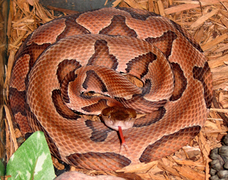 <i>Agkistrodon contortrix</i> species of reptile