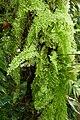 Aglaomorpha-Jardin des plantes de Nantes (2).jpg