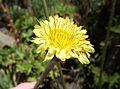 Agoseris grandiflora.jpg