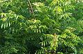 Ailanthus sp..jpg