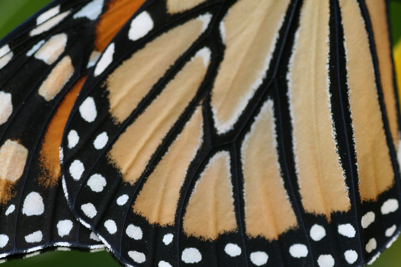 Aile De Papillon file:aile papillon monarque - wikimedia commons