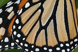 Aile papillon monarque.jpg