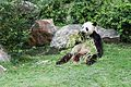 Ailuropoda melanoleuca (Panda géant) - 443.jpg
