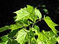 Alangium platanifolium - Flickr - peganum (3).jpg