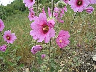 Malvales Order of flowering plants