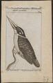 Alcedo euryzona - 1772-1829 - Print - Iconographia Zoologica - Special Collections University of Amsterdam - UBA01 IZ16800361.tif
