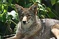 Alert Coyote (2760268579).jpg