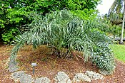 Allagoptera arenaria - Mounts Botanical Garden - Palm Beach County, Florida -DSC03769.jpg