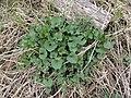 Alliaria petiolata SCA-110421-01.jpg