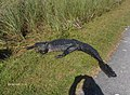Alligator in Shark Valley^ - panoramio (2).jpg