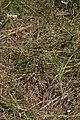 Allium cernuum 2853.JPG