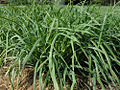 Allium tuberosum by Taraxacumseeds 01.jpg