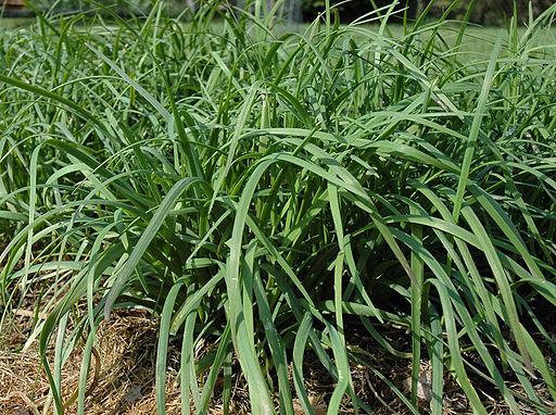 Allium tuberosum by Taraxacumseeds 01