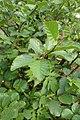 Alnus viridis kz02.jpg
