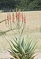 Aloe littoralis.jpg