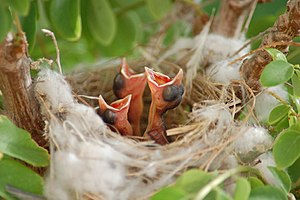 Altricial - Altricial young birds.