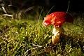 Amanita muscaria (29548203834).jpg