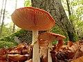 Amanita muscaria (49147727436).jpg