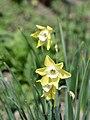 Amaryllidaceae Narcissus jonquilla (Pipit) 1.jpg