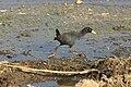 Amaurornis flavirostris 1.jpg