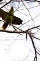 Amazona aestiva -Pantanal-8 (2).jpg