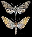 Ambulyx johnsoni MHNT CUT 2010 0 130 Philippines male.jpg